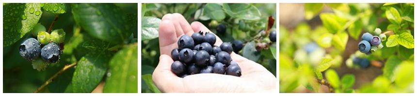 (蓝莓采摘)宝康有机蓝莓